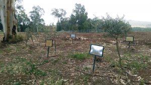 Olive grove2