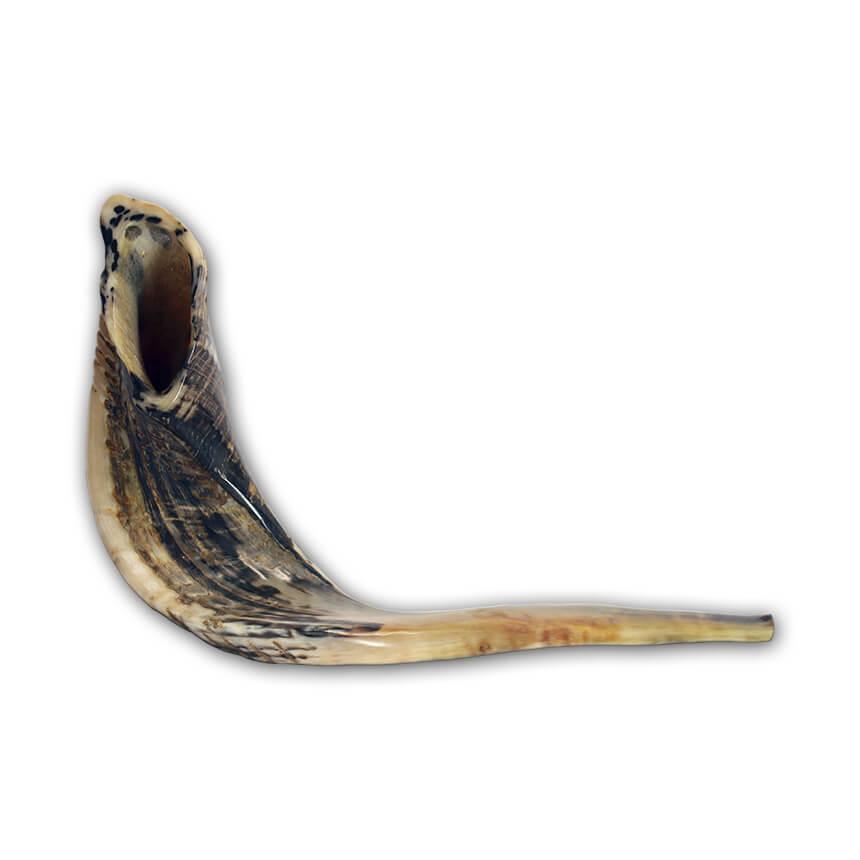 very large ram horn shofar